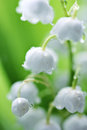 White lilies of the valley in the dew macro a drops morning Stock Photo