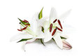 White lily against background manual focus on right stamen Stock Image