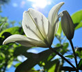 White lily bloom a against the light in the sun Royalty Free Stock Image