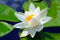 White lily in the blue water of lake among green leaves Royalty Free Stock Photography