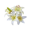 White Lily branch Royalty Free Stock Photo