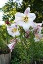White lily eautiful in the garden Stock Photos