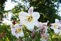 White lily eautiful in the garden Stock Images