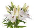 White lily flowers Stock Photos