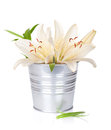 White lily flowers in bucket isolated on background Royalty Free Stock Photography