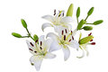 White lily fresh flowers isolated on background Royalty Free Stock Images