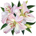 White lily isolated on background vector illustration Royalty Free Stock Images
