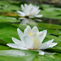 White lily on the lake among a green leaves Royalty Free Stock Image