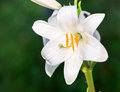 White lily. Royalty Free Stock Photo