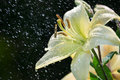 White lily in rain Stock Photos