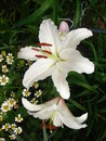 White lily russian garden Stock Images