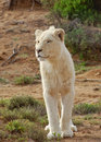 White Lion Stock Image