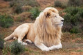 White lion Royalty Free Stock Photo