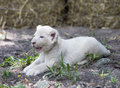 White Lion Cubs Royalty Free Stock Photo