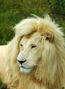 White lion face Royalty Free Stock Photos