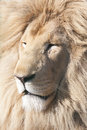 White lion headshot of a beautiful male Stock Image
