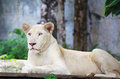 White lion a lying in Royalty Free Stock Images