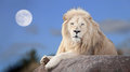 Royalty Free Stock Image White lion