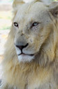 White lion portrait of young vertical orientation Stock Photo