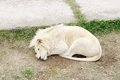 White lion safari park taigan lions park crimea sleeping Stock Photo