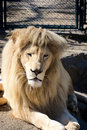 White lion sitting in the zoo cage Stock Image