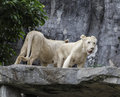 White lion stand on the rock in zoo Royalty Free Stock Photography