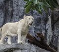 White lion standing in zoo Royalty Free Stock Image