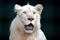 White lion with wide open mouth Royalty Free Stock Photo