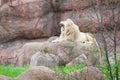 White lion in wildlife