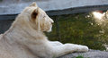 White lion young in the zoo Royalty Free Stock Photos