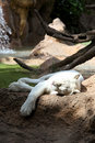 White lioness Royalty Free Stock Image