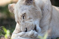White Lioness Cleaning Stock Image