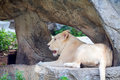 White lioness lies on piece of rock
