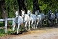 White Lipizzan Horses Royalty Free Stock Photo