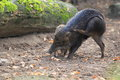White lipped peccary in the soil Royalty Free Stock Photos