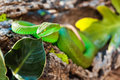 White Lipped Pit Viper On Rock Royalty Free Stock Photo