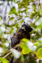 White lipped tamarin, monkey Royalty Free Stock Photo
