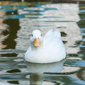 White little duck floats on the water surface Stock Photography