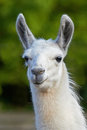 White llama lama glama looking at the camera Stock Photography