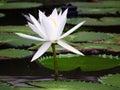 White lotus. Royalty Free Stock Photos