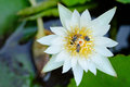 White lotus and bee with in the garden Royalty Free Stock Photo