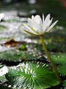 White lotus bloom in bokeh background Stock Image