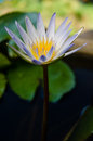 White lotus bloom of purple Stock Images