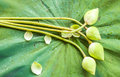 White lotus buds Royalty Free Stock Photo