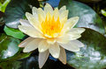White lotus close up yellow Royalty Free Stock Photo
