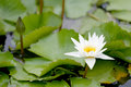 White Lotus flower bloom in pond,water lily in the public park. Royalty Free Stock Photo