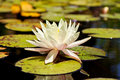 White Lotus Flower in Lily Pond Stock Photos