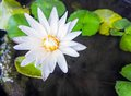 White lotus flower in morning light Royalty Free Stock Photo