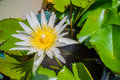 White lotus flower, water lilly Royalty Free Stock Photo