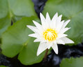 White lotus picture of flower in gardens Stock Photos